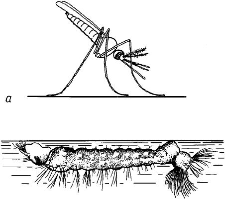 Характерные позы взрослого малярийного комара и его личинки.