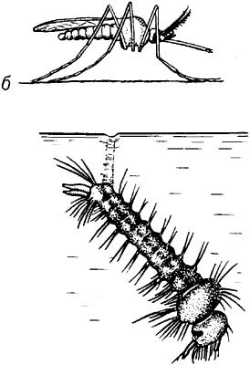 Характерные позы взрослого комара кулекс и его личинки.