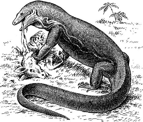 Комодский варан.