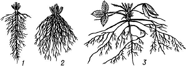 Корневая система растений.