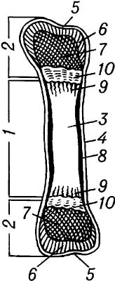 Схема строения трубчатой кости.
