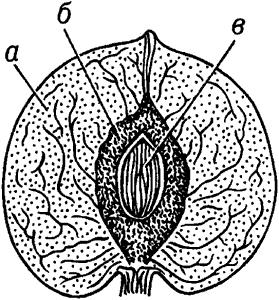 Костянка (однокосточковая) в разрезе.