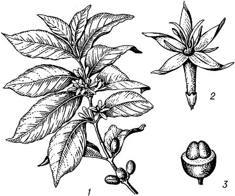 Кофейное дерево аравийское.