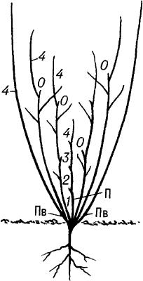 Схема образования кустарника.