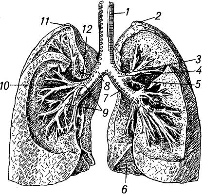 ЛЁГКИЕ, органы дыхания у человека, наземных позвоночных и нек-рых рыб.  В Л. кислород воздуха переходит в кровь...
