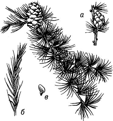 Лиственница сибирская (ветка).