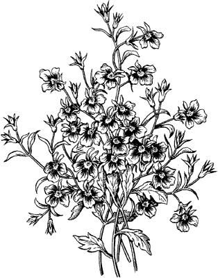 Лобелия эринус.