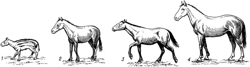 Последовательный ряд ископаемых лошадиных.