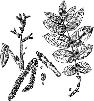 Маньчжурский орех.
