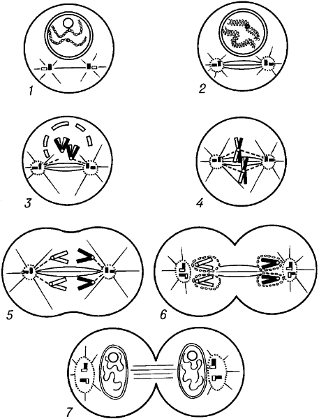 Схема митоза.