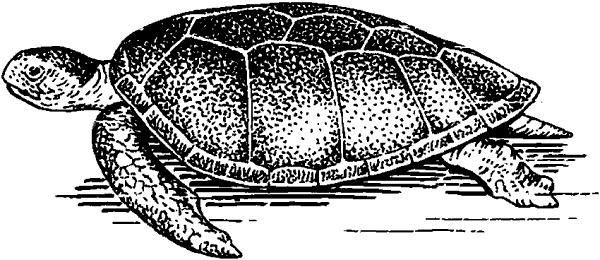 Зелёная черепаха.