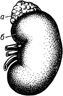 Левая почка человека с надпочечником.