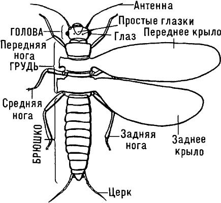 Схематическое изображение типичного крылатого насекомого.