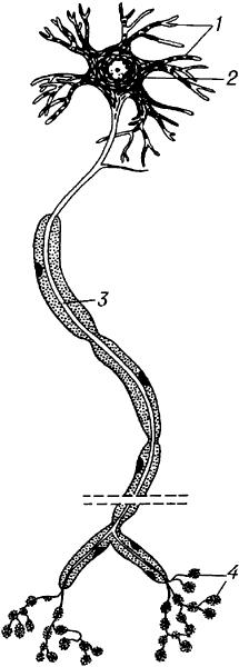 Нейрон (схема).