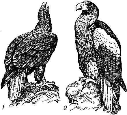 Орланы.