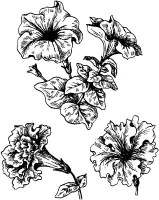 Цветки петунии.