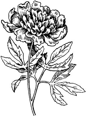 Пион молочно-цветковый.
