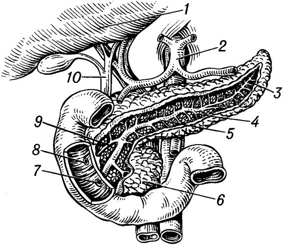 Поджелудочная железа (топография).