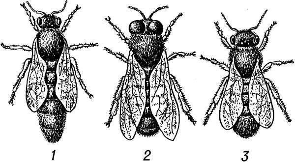 Особи пчелиной семьи.