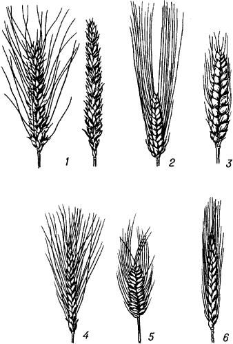 Виды пшеницы.
