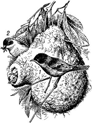 Ремез у гнезда с птенцами.