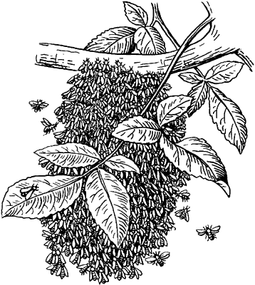 Рой пчёл на ветке.
