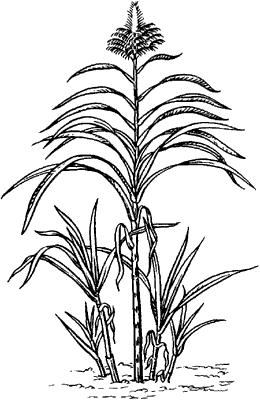 Сахарный тростник благородный.