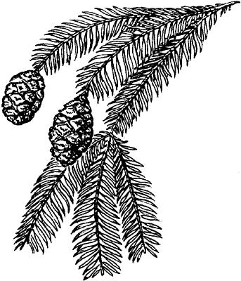 Секвойя вечнозелёная.