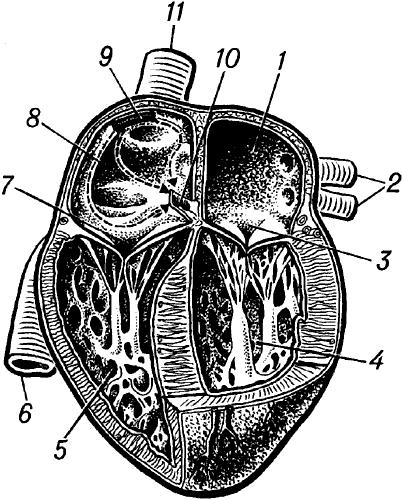 Сердце человека.