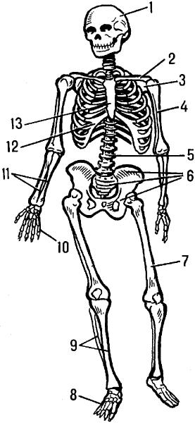 Скелет человека.