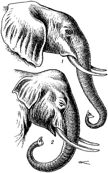 Головы слонов.