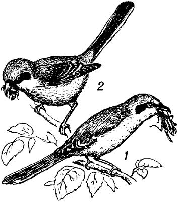 Сорокопуты.