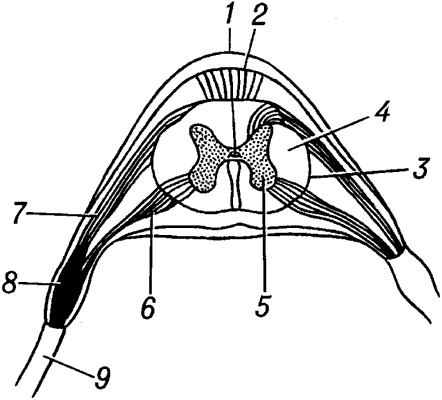 Поперечный разрез спинного мозга (схема).