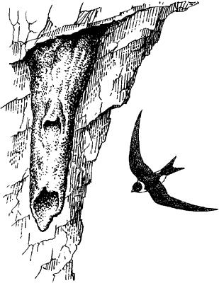 Кайенский стриж около гнезда.