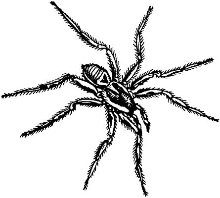 Южнорусский тарантул.