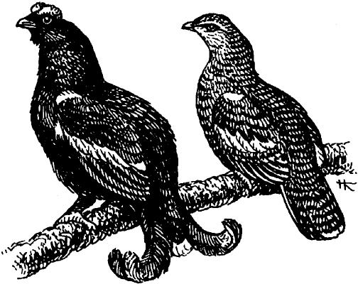 Тетерев обыкновенный (самец и самка).
