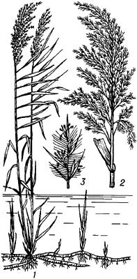 Тростник обыкновенный.