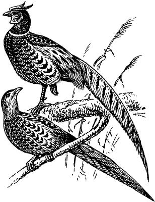 Обыкновенный фазан.