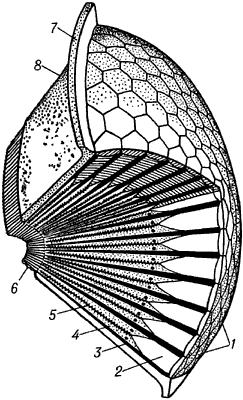 Схема строения аппозиционного (свойственного дневным насекомым) фасеточного глаза.