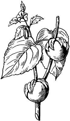 Физалис клейкоплодный (мексиканский).
