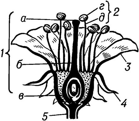 ЦВЕТ`ОК, орган полового размножения цветковых р-ний; специализир. укороченный побег.  В Ц. различают цветоложе...