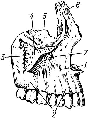 Верхнечелюстная кость человека.