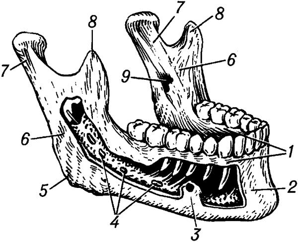 Нижняя челюсть человека.