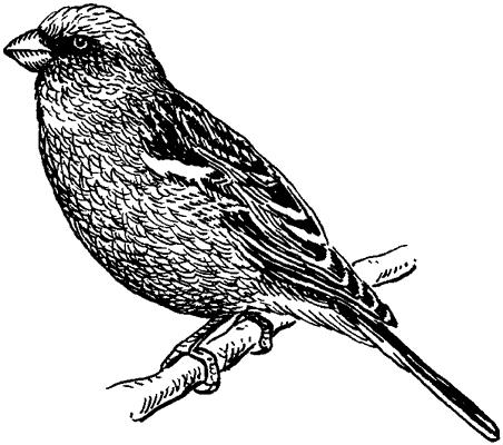 Сибирская чечевица.