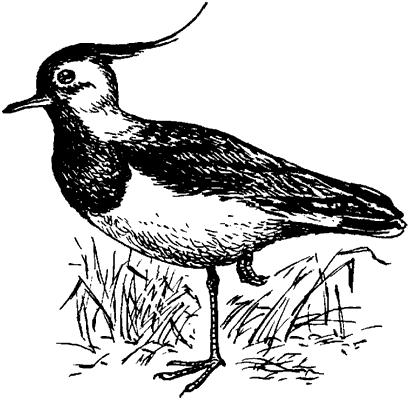 птицы с хохолком рязанская область, птица с лысой головой. стихи про.
