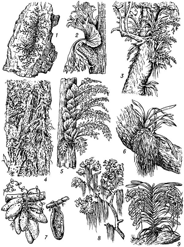 Эпифиты (на стволах и ветвях деревьев).