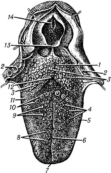 Язык человека (спинка).