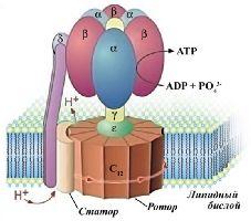Один из биологических моторов (АТФ-синтетаза).