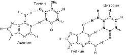 Рис. 1 - Водородные связи между азотистыми основаниями, определяющие структуру ДНК