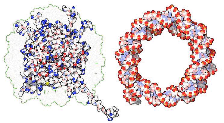 Кольцевая молекула днк